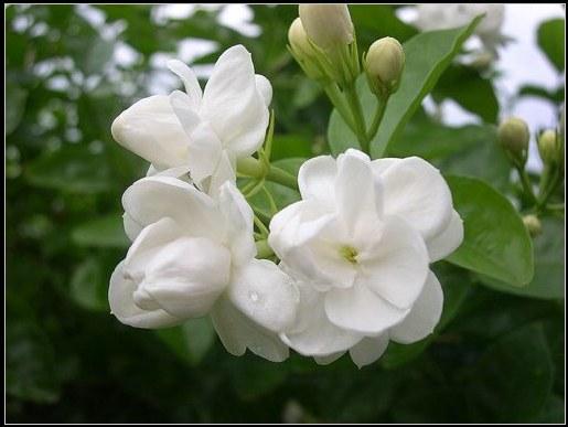 tắm trắng từ thiên nhiên bằng hoa nhài