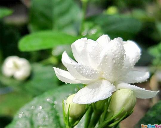 Liệu pháp tắm trắng từ thiên nhiên bằng hoa nhài!